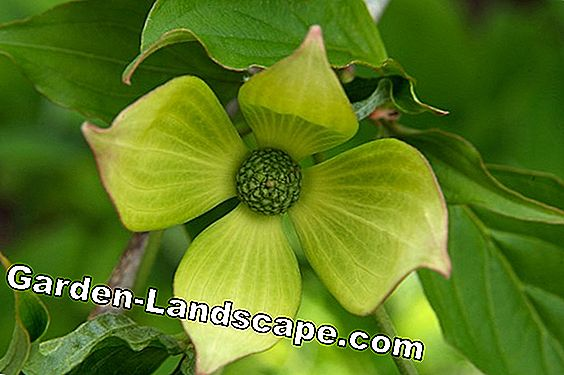 Flower Dogwood Cornus 'Venus'