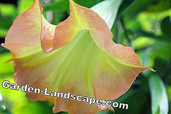 Overwinter angel trumpet