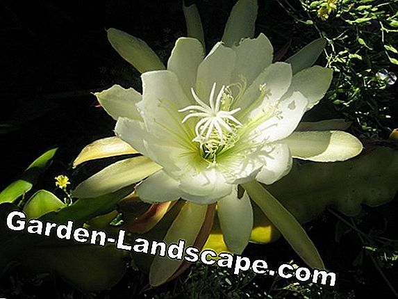 Queen of the Night Cactus - Chăm sóc của Selenicereus grandiflorus