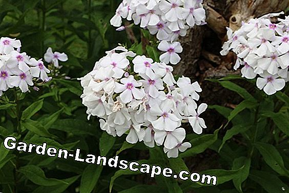 Phlox - location, planting, propagating and cutting