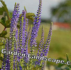 High Meadow Honour Award Veronica longifolia 'Donkerblauw'