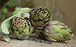 There are green and purple artichokes