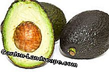 Avocado - rearing and care