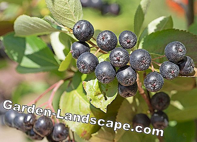 Chokeberry - Aronia - Berries