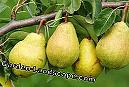 Pear trees are easy to multiply