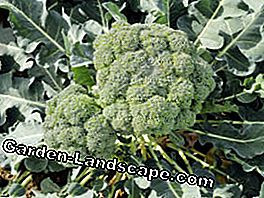 Broccoli is easy to grow