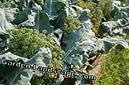 Cabbage fly, cabbage hernia and downy mildew can cause broccoli