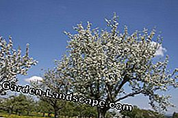 Fruit trees are best refined in spring