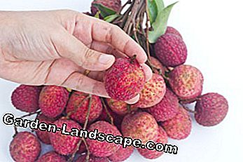 Only in the greenhouse planted litchi fruits