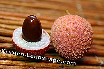 Simply use the lychee seeds for cultivation
