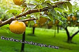 Maintaining Nashi pears - Instructions for watering, fertilizing, cutting and wintering