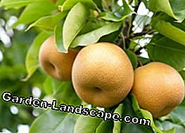 Nashi pear planting - Tips on location and care