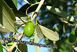 Olive tree propagate - How it works through cuttings and seeds