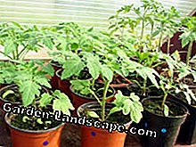 Peppers have to overwinter indoors