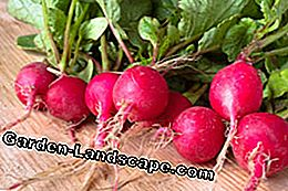 Sow radishes for the autumn