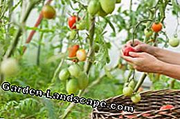 Planting a tomato - tips on location and soil