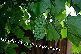 Thin out grapevines