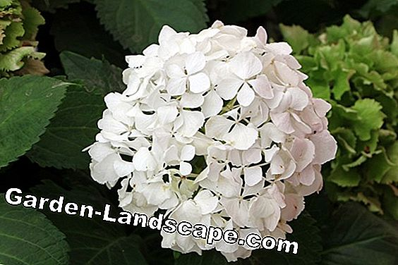 Dry hydrangeas without loss of color - 7 tips for hydrangea flowers
