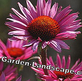 Common Sunhat Echinacea purpurea 'Fatal Attraction' ®