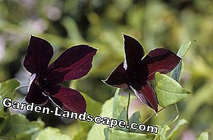 Clematis viticella 'Black Prince'