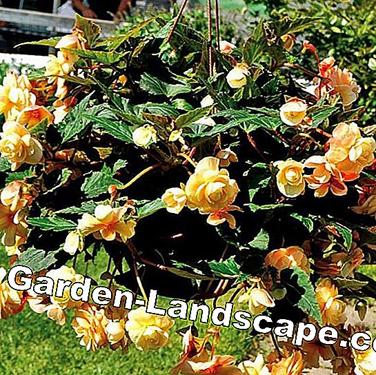 Begonia's: Weelderige Steady bloem: steady