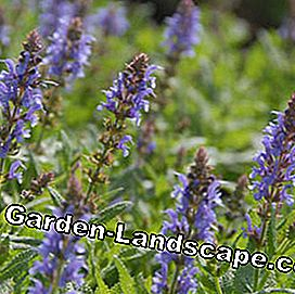 Garden sage Salvia nemorosa 'Blue Hill'
