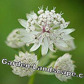 Bintang besar thumbler Astrantia mayor