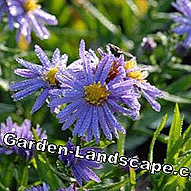 Bantal-Aster Aster dumosus 'Lady in Blue'