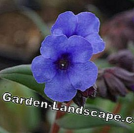 Lungwort Pulmonaria hybrid 'Blue Ensign'