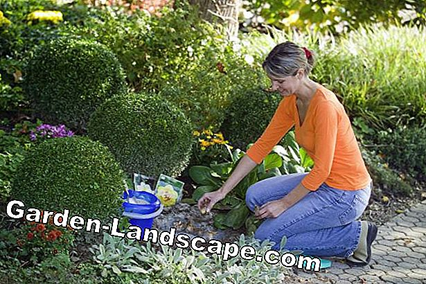 Woman is planting onion flower