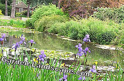 Pond with water lilies and meadow irises