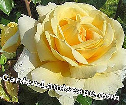 Golden Rose of Baden-Baden: rose