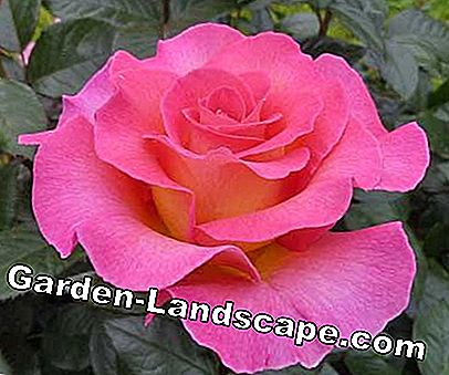 Golden Rose of Baden-Baden: Baden-Baden