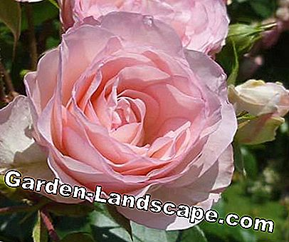 Golden Rose of Baden-Baden 2011: rose