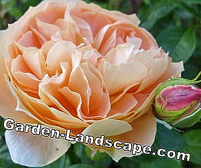 Golden Rose of Baden-Baden 2012: 2012