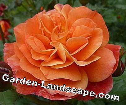 Golden Rose of Baden-Baden 2012: rose