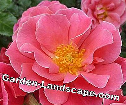 Golden Rose of Baden-Baden: garden