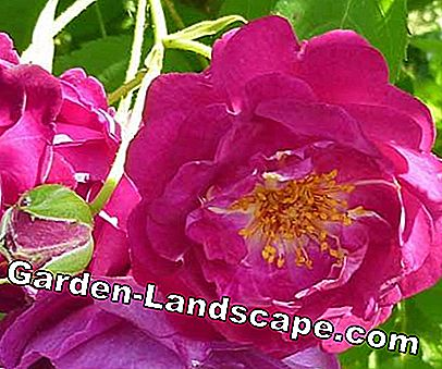 Golden Rose of Baden-Baden: Rose Baden-Baden