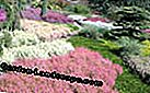 Calluna brote Bloomer