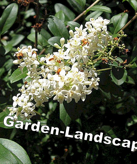 Ligustrum vulgare flowers woody