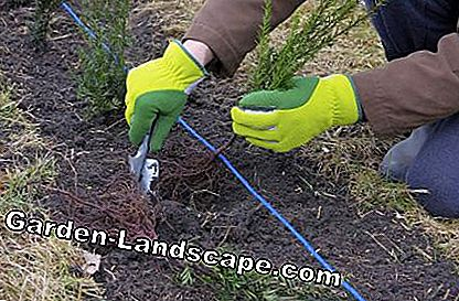 Hedge plants gloves cuttings