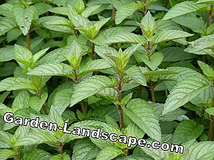Chocolate Mint (Mentha piperita)