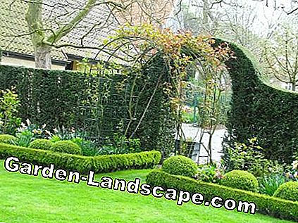 Rose arch in front of hedge