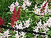 Astilbe Europe et Red Sentinel