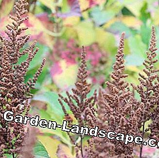 Astilbe aux fruits