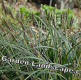 White-headed Japanse zegge Carex morrowii 'Variegata'