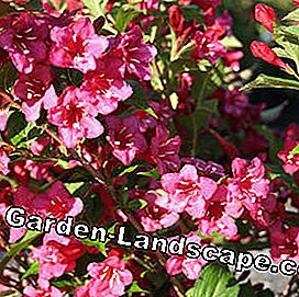 Red Weigela Bristol Ruby