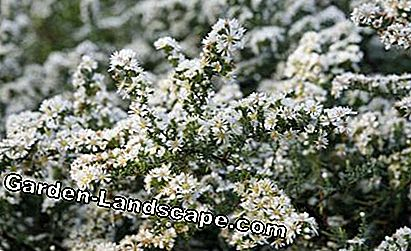 Myrtle-aster 'Snowflurry' Aster ericoides
