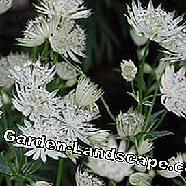 Star Dagger Astrantia major 'Shaggy'