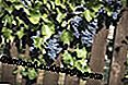 Picket fence wood grapes